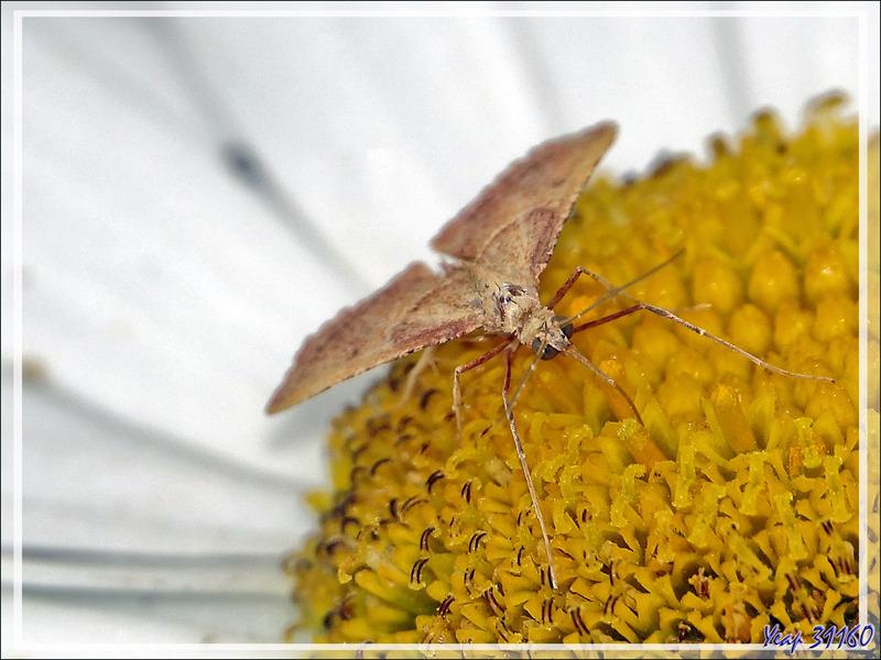 Papillon de nuit Crocalle du genévrier, Crocallis du genêt (Crocallis dardoinaria) - Lartigau - Milhas - 31