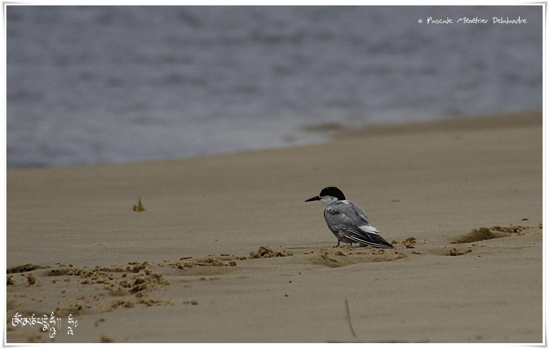 Sterne hansel - Gelochelidon nilotica - Gull-billed Tern