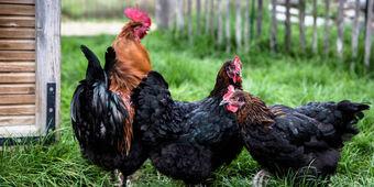 """Résultat de recherche d'images pour """"recyclage poule dans jardin"""""""