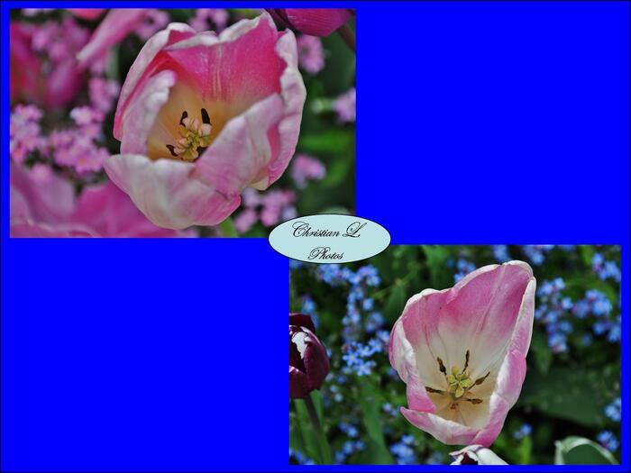 Tulipiade au château de Maintenon...