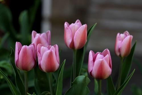 Tulipes Synaeda Amor2