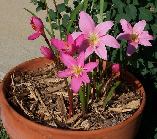 2. Zéphyranthes.