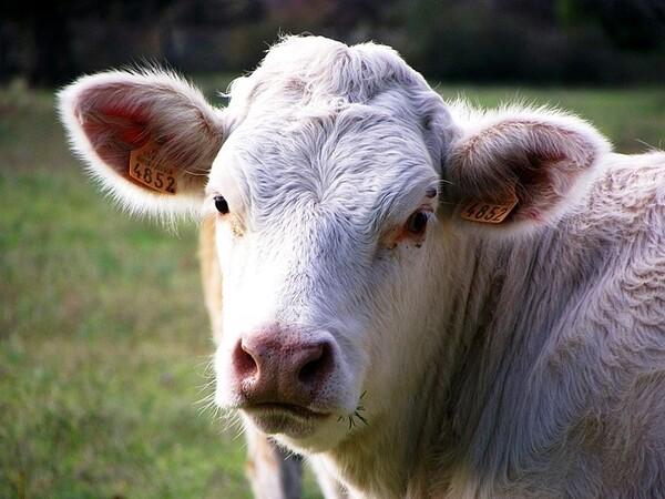 Entressen vache1