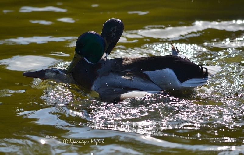 Parc Floral de Paris : L'amour chez les canards Colvert