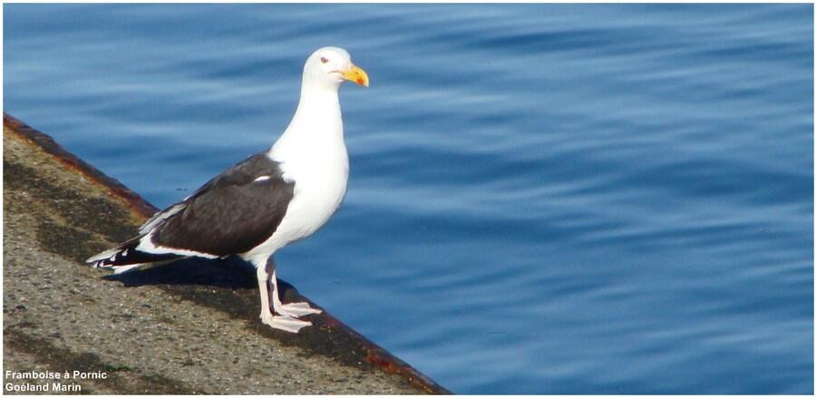 Le goéland marin