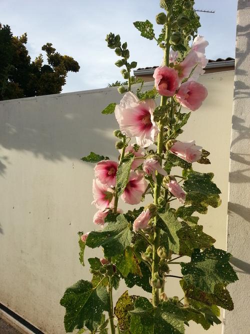 La fleur d'Oléron