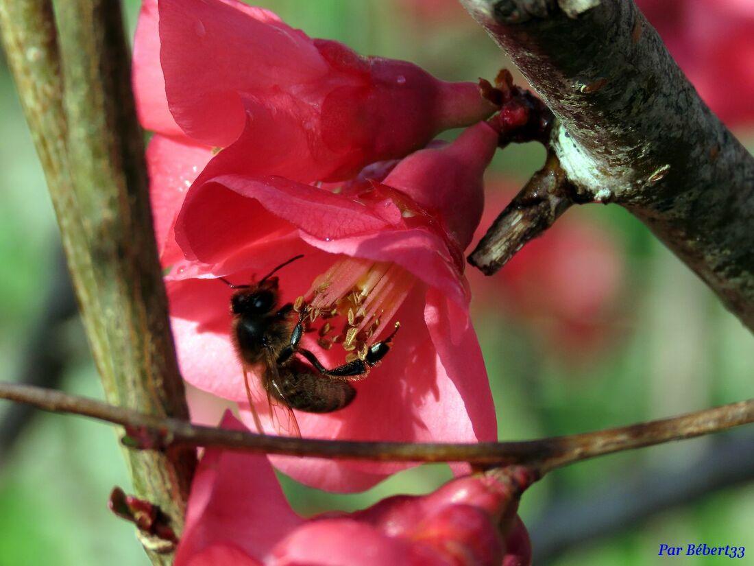 abeille sur cognassier ...