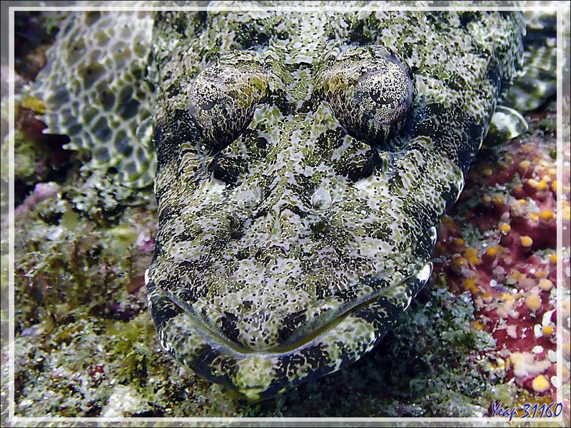 Poisson-crocodile tapis, Tête plate, Platycéphale tentaculé, Common crocodilefish, Carpet flathead (Papilloculiceps longiceps) - Baleine - Tsarabanjina - Mitsio - Madagascar
