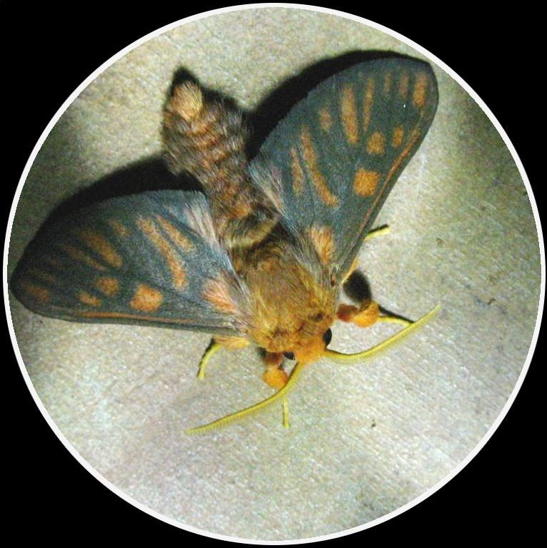 Noctuidae Afrique de l'Ouest