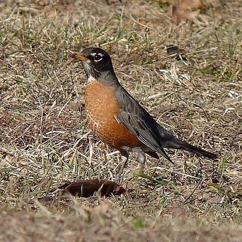 600px-Turdus_migratorius_9.jpg