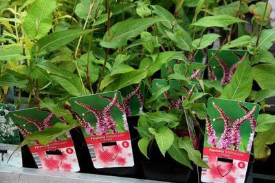 Famiflora : promos sur les vivaces