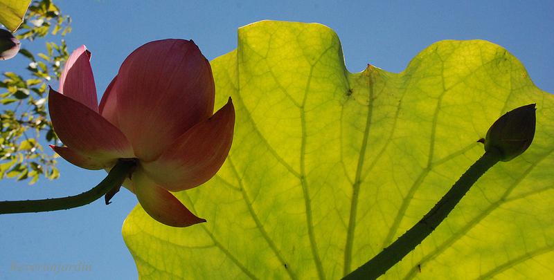 Instantanés du lotus