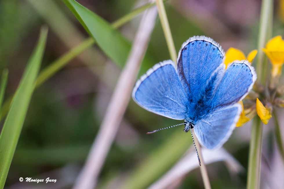 Argus bleu céleste mâle