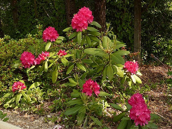 Rhododendron 01