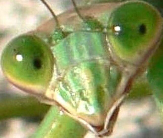 La mante religieuse,un insecte originaire du bassin méditerranéen