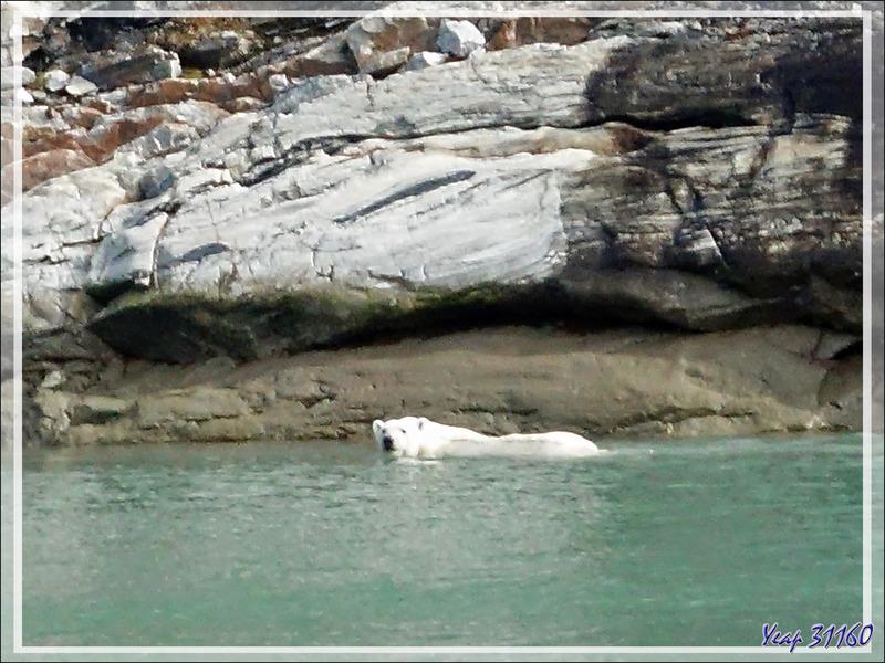 L'ours est obligé de se mettre à l'eau pour passer une zone de falaise - Icy Fjord - Nunavut