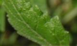 Diplotaxis Erucoides