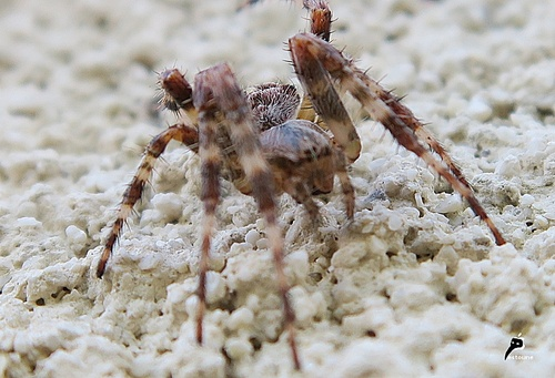 épeire diadème - Araneus diadematus