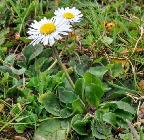 Vertus médicinales des plantes sauvages : Pâquerette