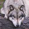 Loups #03