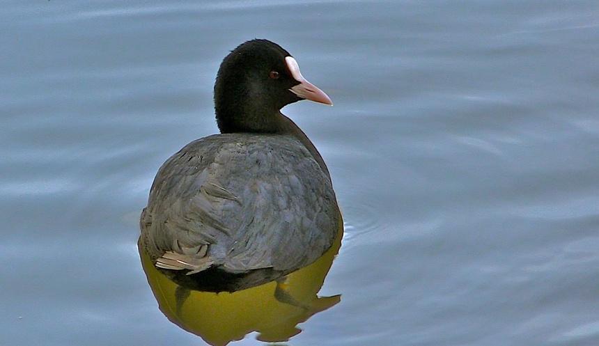 Portraits d'oiseau (7): la foulque macroule