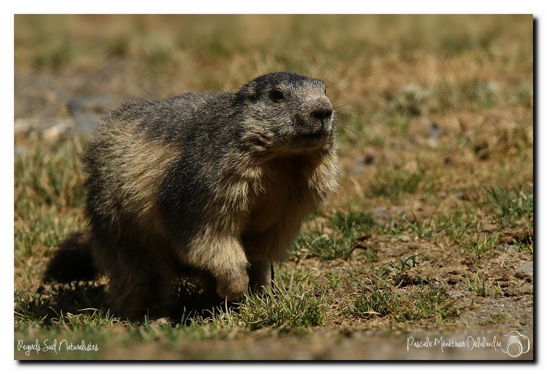 Marmotte - Marmota marmota