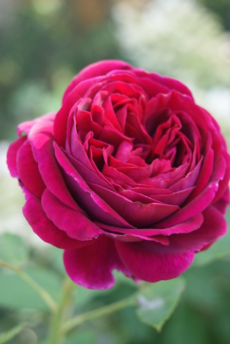 rose Falstaff de David Austin