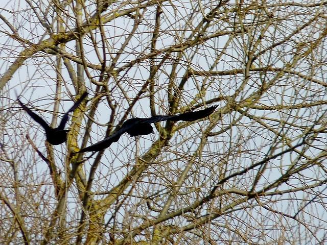 Oiseaux de Metz en hiver 14 Marc de Metz 2012