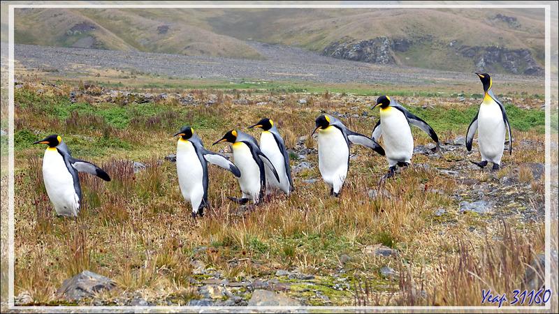 """La """"République (des Pingouins) en Marche"""" - Whistle Cove - Fortuna Bay - Géorgie du Sud"""
