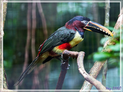 Araçari à oreillons roux, Chestnut-eared Aracari (Pteroglossus castanotis) - Parque das Aves - Foz do Iguaçu - Brésil