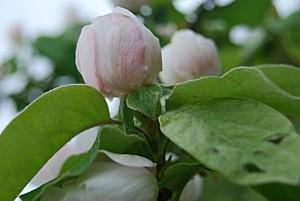 bouton-de-fleur-de-cognassier-2.jpg