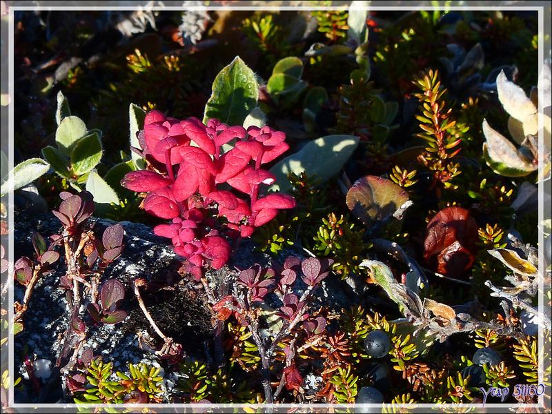 Myrtilliers avec leurs couleurs d'automne et Camarine noire,  Crowberry, Paurngaqutik (Empretum nigrum) - Ilulissat - Groenland