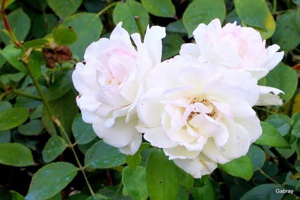 d04---Trois-roses.JPG
