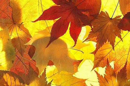 Autumn leaves Les Feuilles d'automne1