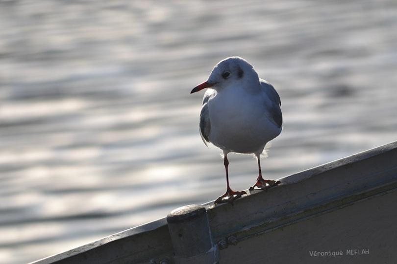 Rambouillet : La mouette rieuse