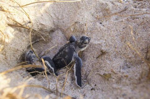 Madagascar : la douane saisit… 771 bébés tortues