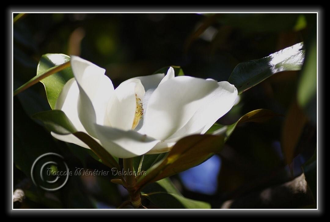 Fleurs de Laurier tulipier...