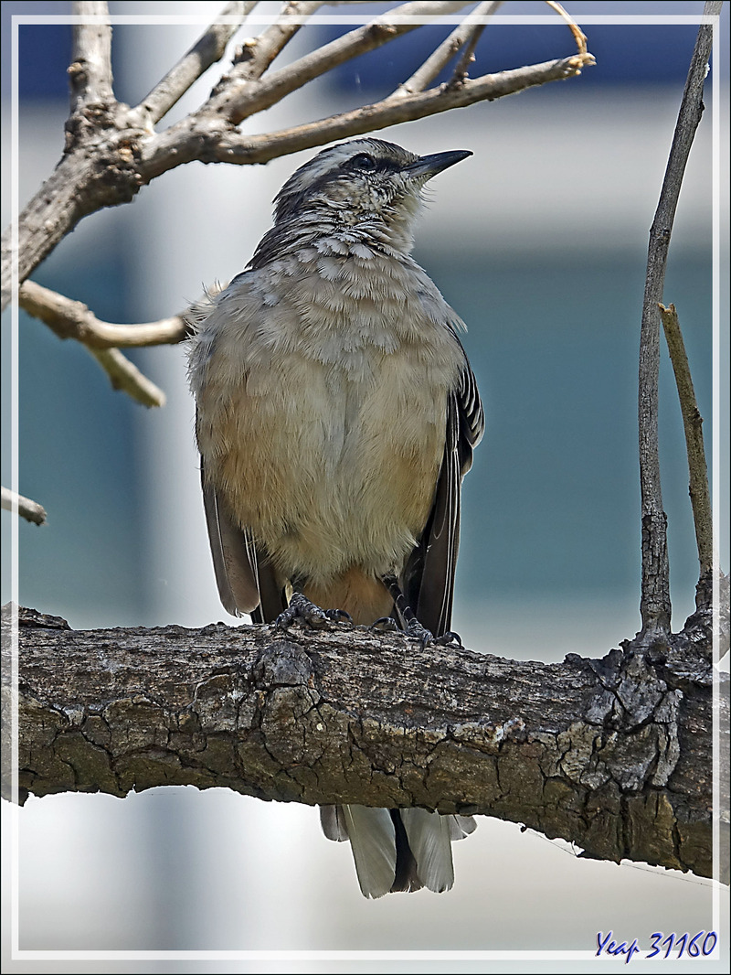Moqueur plombé, Chalk-browed Mockingbird (Mimus saturninus) - Place de Mai - Buenos Aires - Argentine