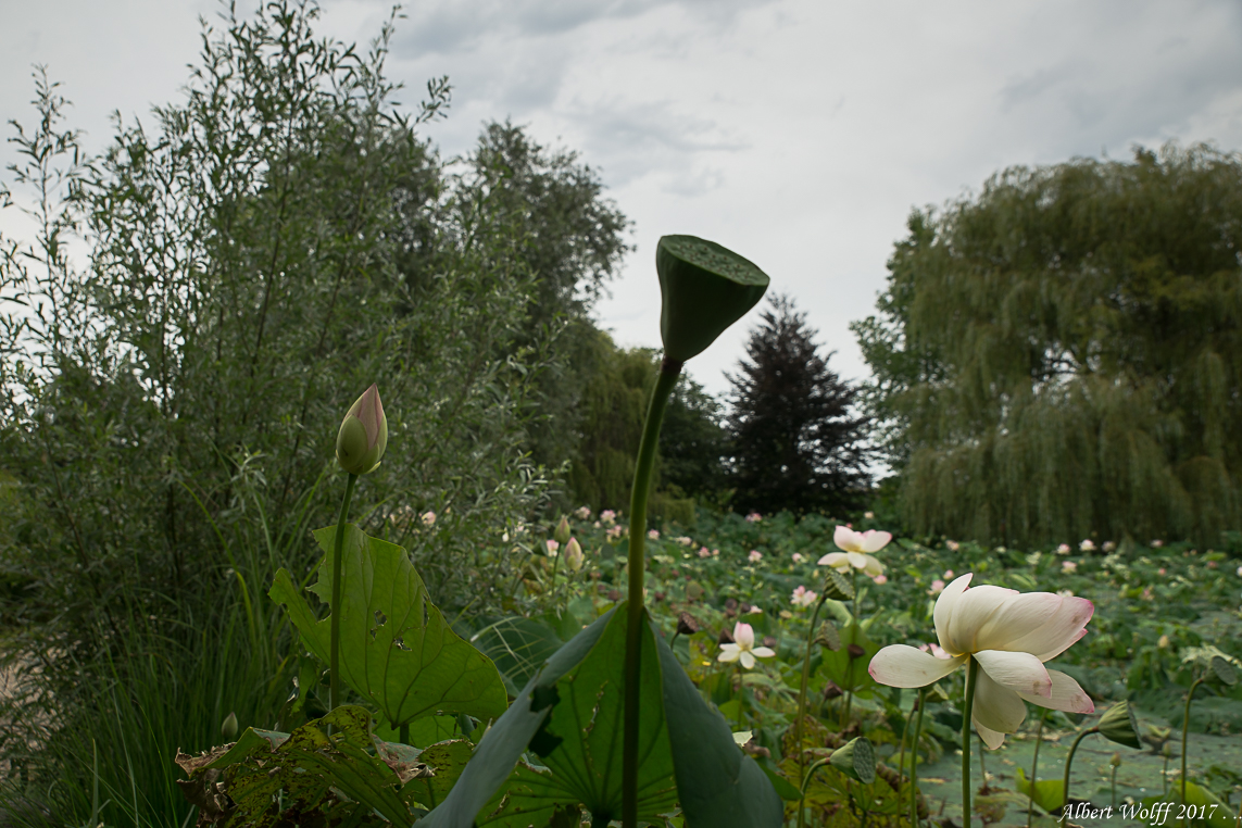 Au pays du lotus - 2 -