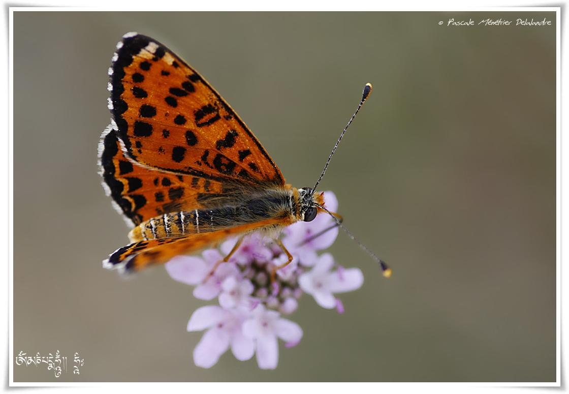 Mélitée orangée - Melitaea didyma - Nymphalidae