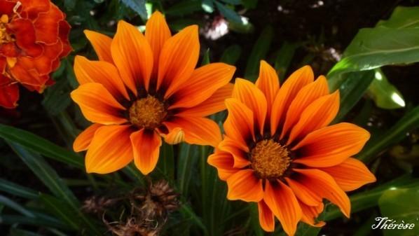 gazania orange brun