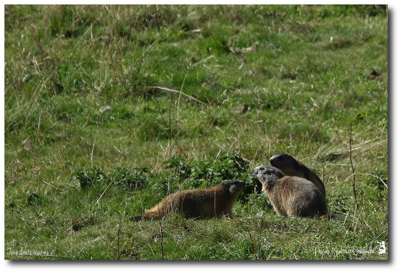 Marmottons