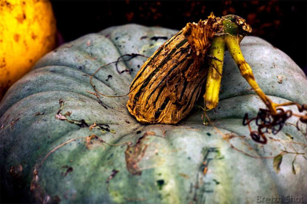 Le potiron bleu de Hongrie donne 2 à 4 fruits par pieds, le diamètre est compris entre 20 et 35 cm pour un poids compris entre 4 à 8 kg. La chaire est douce et sucrée est excellente peut servir de base à de nombreuses préparations culinaires.