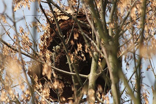 nid de frelons-7-