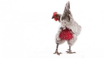 Des poules oui, des crottes non ...