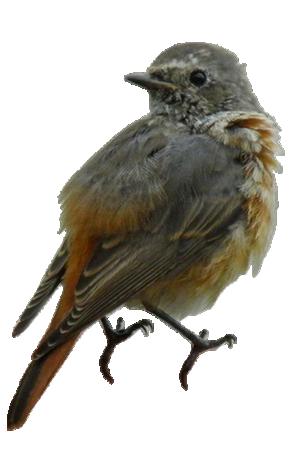 Rouge-queue à front blanc juvénile