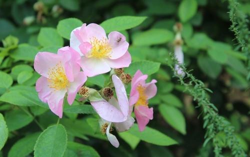 Images de rose