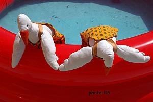 Oies sur piscine 15