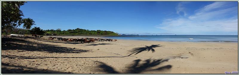 Le départ des zébus pour passer la journée dans les pâturages - Grande Mitsio - Madagascar