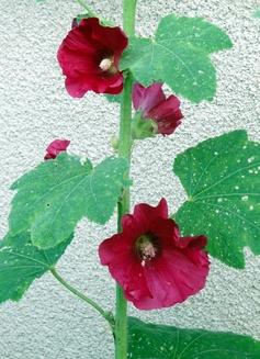 Les roses trémières et le coréopsis